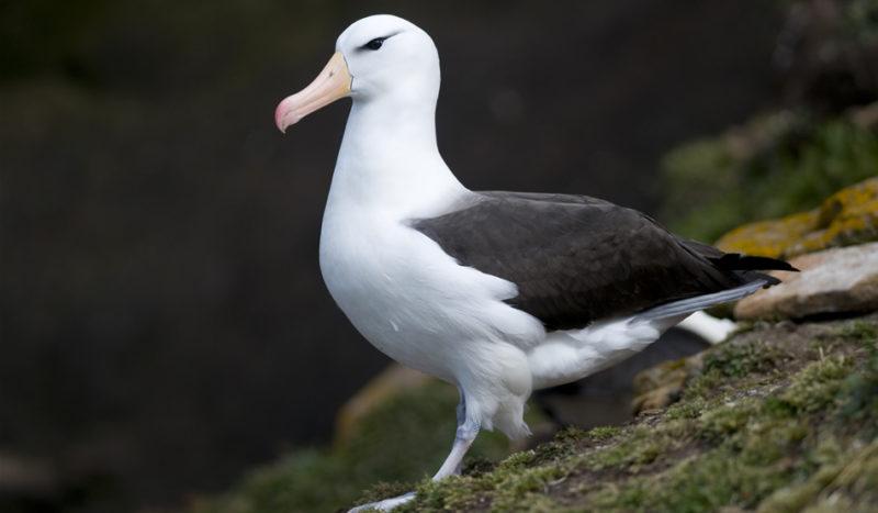 albatros_peligro_de_extinción