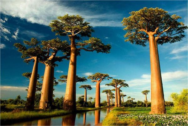 Los impresionantes árboles Baobab