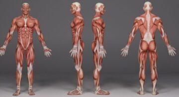 Nombra las partes del cuerpo humano en inglés