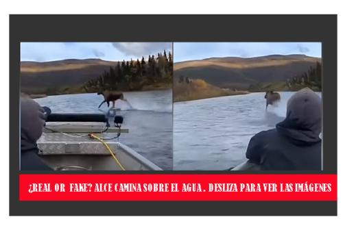 ALCE CORRE POR LAS AGUAS DE UN RÍO EN ALASKA: ¿Realidad o Mito?